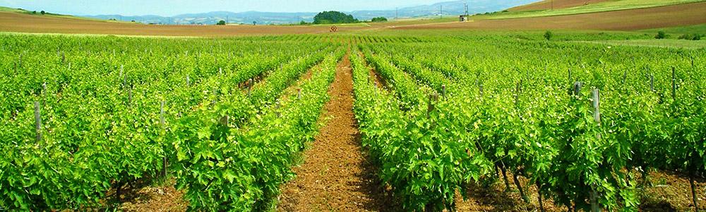 Chatzivariti-Vineyards